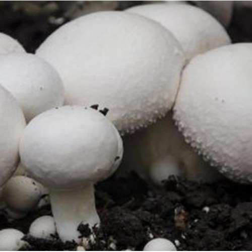 Saco Cogumelos Brancos de Paris