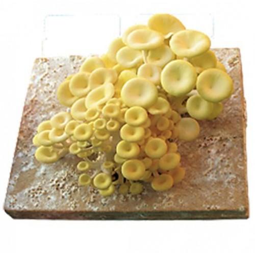 Placa para Inoculação de Cogumelos