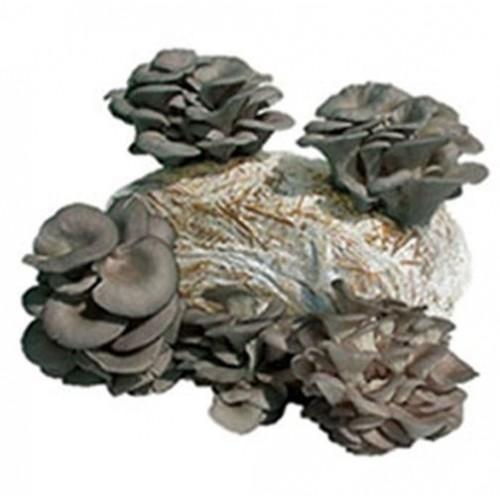 Saco Cogumelos Ostra